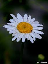 Photo: Daisy