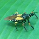 Bee Killer Assassin Bug