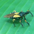Bee Killer Assassin Bug