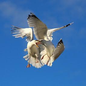 The Squabble ... by Ian Cormack - Animals Birds