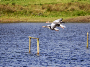 Photo: Greylag Geese coming in to land