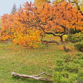 by Gino Libardi - City,  Street & Park  City Parks ( tree, autumn leaves, autumn, trees, tree decoration, autumn colours )