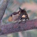 Tri-horned Treehopper