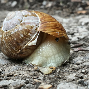 Snail by Boban Buliga - Animals Other