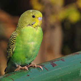 Green Budgerigar by Akbar Ali Asif - Animals Birds ( small parrots, parakeets, animals, islamabad, bird's portrait, parrots, birds' closeup, birds, budgerigars, pakistan, nature, yellow and green, cute parakeets )
