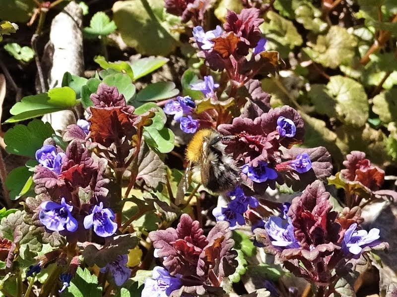 2019-04-15 LüchowSss Garten 14-15 Uhr (97) Ackerhummel (Bombus pascuorum) an Gundelreben-Blüten (Glechoma hederacea)
