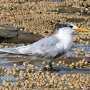 Crested Tern (non-breeding plumage)