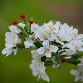 by Marie Schmidt - Flowers Tree Blossoms (  )