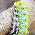 Blue  butterfly Caterpillar