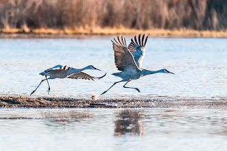 Photo: It takes a good sprint to lift off.