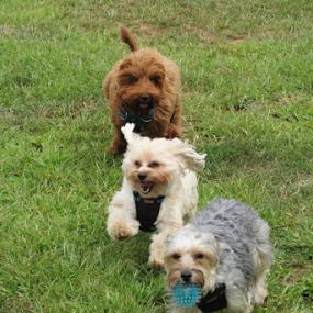 by Karen Dayton - Animals - Dogs Running ( morkies, rocky hill, puppies, dogs, labradoodle, ct,  )