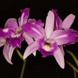 by Al Duke - Flowers Flower Arangements ( orchid, pink )