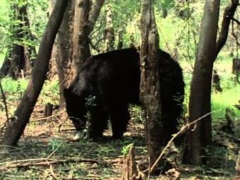 Swamp Bear -- Part 2