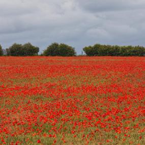 Poppy field by Steve BB - Landscapes Prairies, Meadows & Fields