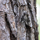 Tearful Underwing Moth