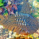 Five-ribbed Kelp