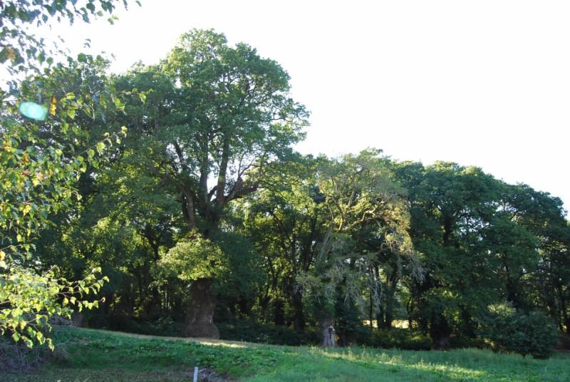 arboles monumetales de galicia
