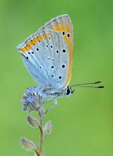 Photo: Lycaena Dispar, Cuivré Des Marais, Large Copper http://lepidoptera-butterflies.blogspot.fr/