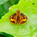 orange skipper
