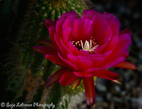 Photo: Spent a great morning shooting.. now to do so me editing ;)  saija-lehtonen.artistwebsites.com   #cactusflower   #cactus   #flowerphotography   #flowers   #floralphotography   #floralphotos   #floralfriday   #floraltoday   #southwest