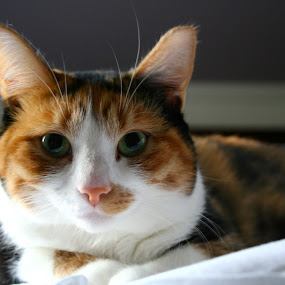 by Joelle McGraw - Animals - Cats Portraits ( cat, kitten, fierce, close up, light, portrait, eyes )