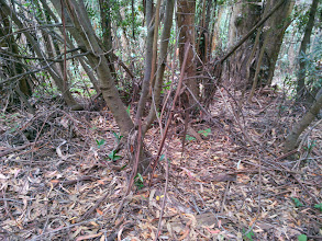 Photo: In some places, the native trees may need to be thinned once they are liberated.