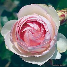 Photo: Strauchrose Eden Rose 85®, Züchter: Meiland 1985