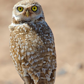 Burrowing Owl by Steve Forbes - Animals Birds