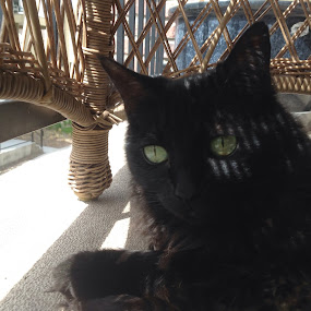 Chillin' by Diana Reed Kubec - Animals - Cats Portraits ( cats, animals, cat, pets, black cat,  )