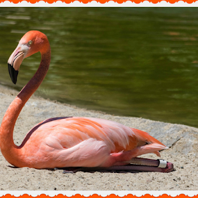 Flamingo Enjoying A Sunny Day! by Maureen McDonald - Animals Birds ( san diego zoo, vacation, flamingo, spring 2016, sunny day,  )