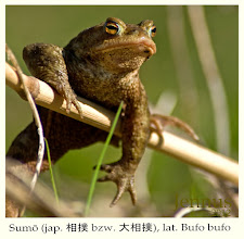 Photo: Sumō [sɯmoː] (jap. 相撲 bzw. 大相撲, lat. Bufo bufo, Dame mit Rubensfigur