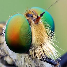 My eyes by Sam Moshavi - Animals Insects & Spiders