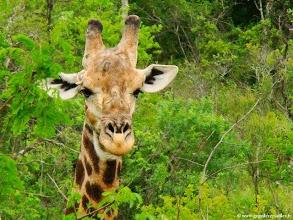 Photo: AFRIQUE DU SUD-Girafe dans la réserve de Hluhluwe Imfolozi Park dans le Zoulouland.