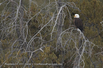 Photo: Bald Eagle (Haliaeetus leucocephalus) perched in a pine along the Madison River in Yellowstone National Park, Wyoming.