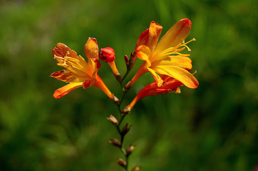 Tritonia Crocosmia crocosmiflora