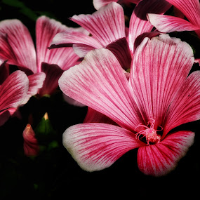 red by Michael Krivoshey - Flowers Flower Gardens ( red, summer, flowers, garden,  )