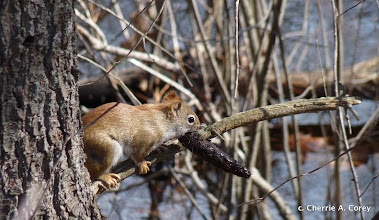 Photo: Red squirrel