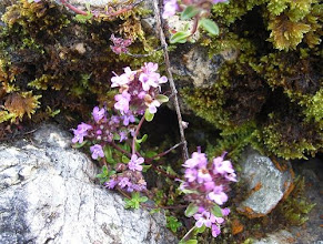 Photo: Thyme, Thymus praecox nr Ullapool, Knockan Crag