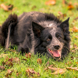 Ready To Go by Darrell Evans - Animals - Dogs Portraits ( face, individual, grass, green, leaves, domestic, mammal, canine, border collie, pet, outdoor, fur, laying, grey, dog, head, nose, black, animal )