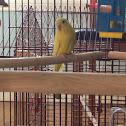 Kiwi the parakeet