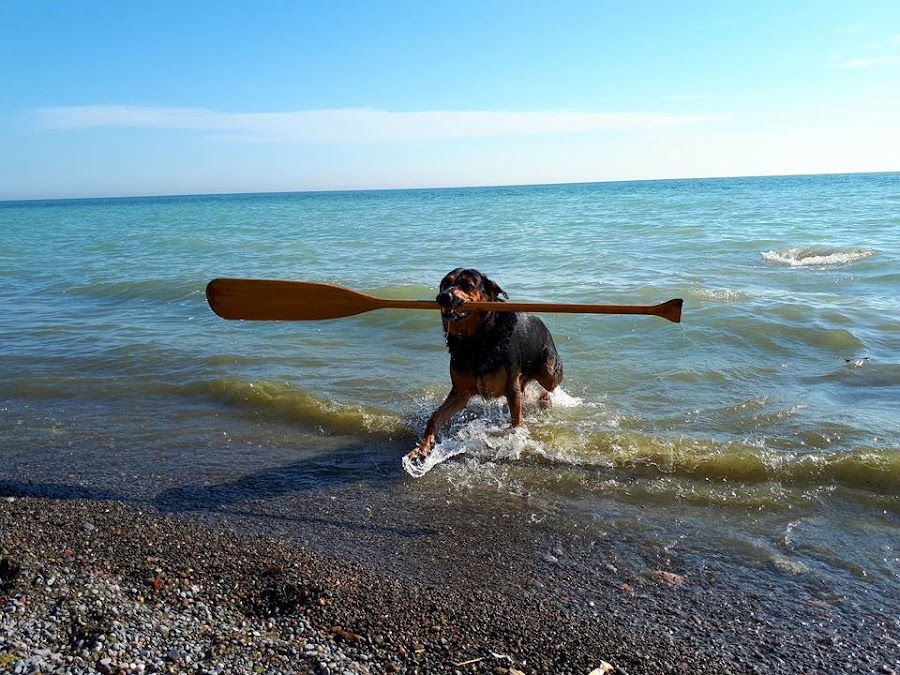 Ashore Oar by Anthony Carlo - Animals - Dogs Playing (  )