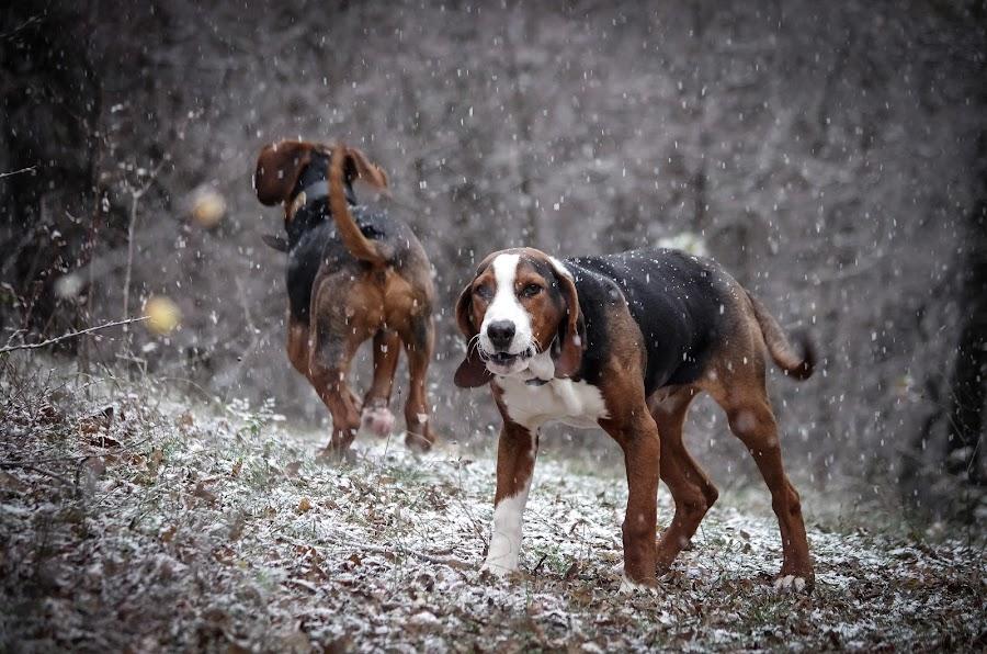 I know how to bark ! by Boris Romac - Animals - Dogs Playing ( da 50-200 wr, pentax k5, croatia, coguar, sinj, glavice, boris romac, animal snow ,  )