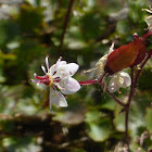 Red-stemmed Saxifrage