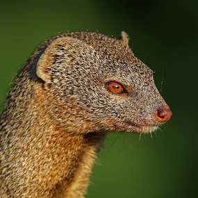 Profile of a Dwarf Mongoose by Anthony Goldman - Animals Other Mammals ( okavango delta, dwarf, wild, mongoose, africa, mammal, profile,  )