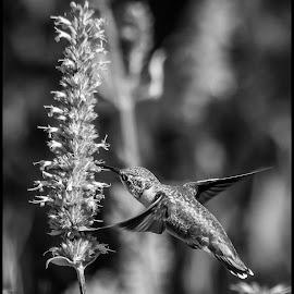 Hummingbird by Dave Lipchen - Black & White Animals ( hummingbird )