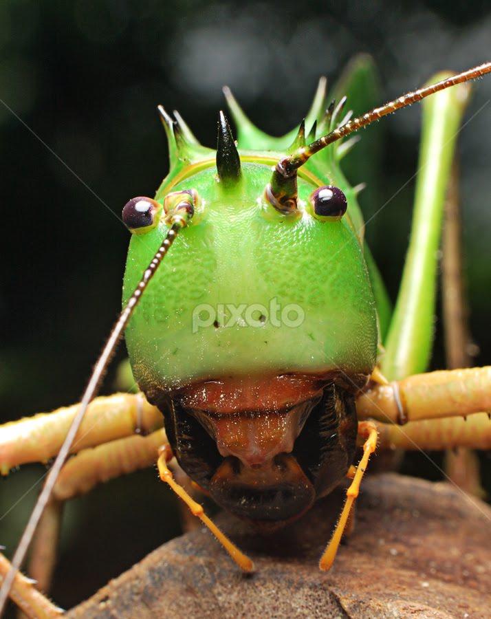 Dragon Head Cricket | Insects & Spiders | Animals !!! | Pixoto