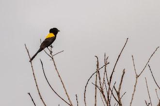 Photo: A yellow-mantled widowbird; Uma viuvinha-de-dorso-amarelo.