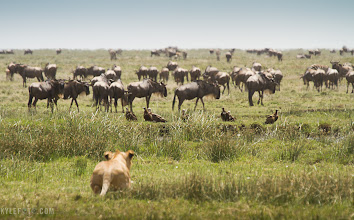 "Photo: Lion Stalks the Wildebeest On safari in Tanzania, Africa Read more at http://www.kylefoto.com  Anyone who has ever owned or spent time with a cat would feel right at home in the Serengeti of Tanzania while watching the behaviour of this male lion slinking up to it's prey. After hanging around with his brothers he decided to head off towards the herd of wildebeest that had wandered into their midst. Us watching in our vehicle with baited breath, our camera trigger fingers were itching with anticipation as this male expertly crept towards the wildebeest and vultures, keeping his body low to the ground with every deliberate and careful motion. At last the moment we thought had arrived: the big cat revealed his presence to the wildebeest as they scattered away from him, the vultures filling the sky with in an explosion of feathers.  This powerful and successful hunter bolted towards the wildebeest, took one look at them, and proceeded to lap up water in the nearby watering hole hidden by the tall grass. All this work, and all this teasing was just practice and fun on the lions behalf. We looked at each other and laughed as the now quenched lion returned to his resting spot among his brothers.  Photographic Details: Sitting as low to the ground as I could get I was able to make the lion in the foreground visually closer to the wildebeest in the background. More interested in showing what the lion was looking at I decided to focus on the wildebeest to put the viewer more in the lions perspective. I also set the white balance to ""cloudy"" mode, to add an extra warmth to the image to help convey the extreme heat of this environment. Canon EOS 7D 1/200s f/8.0 ISO100 400mm (35mm eq:640mm)"