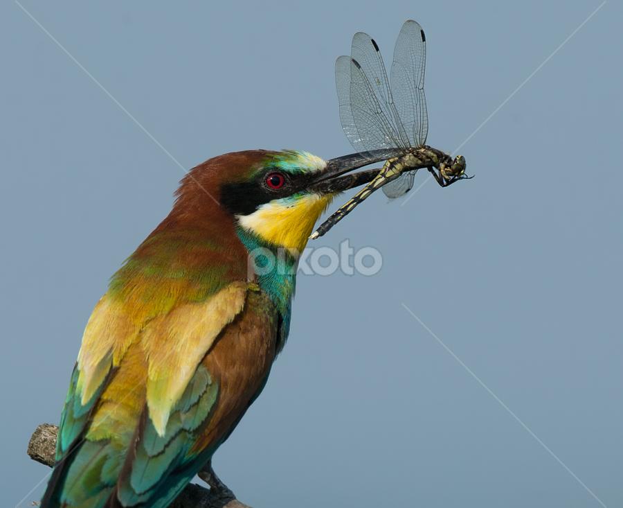 merops apiaster by Dragomir Taborin - Animals Birds