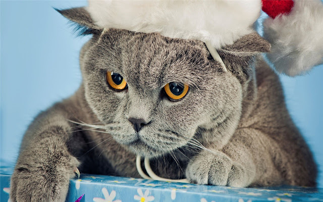 Cat British Shorthairs Themes & New Tab
